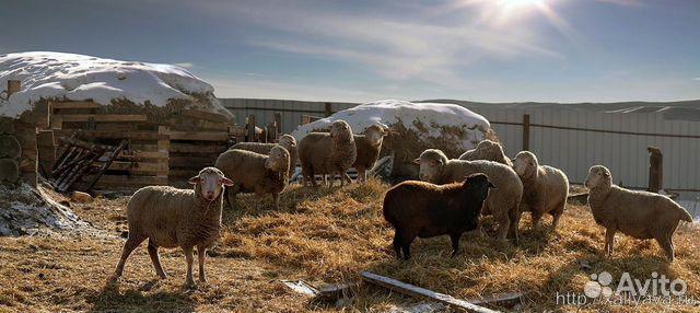Разведение овец как бизнес в домашних условиях