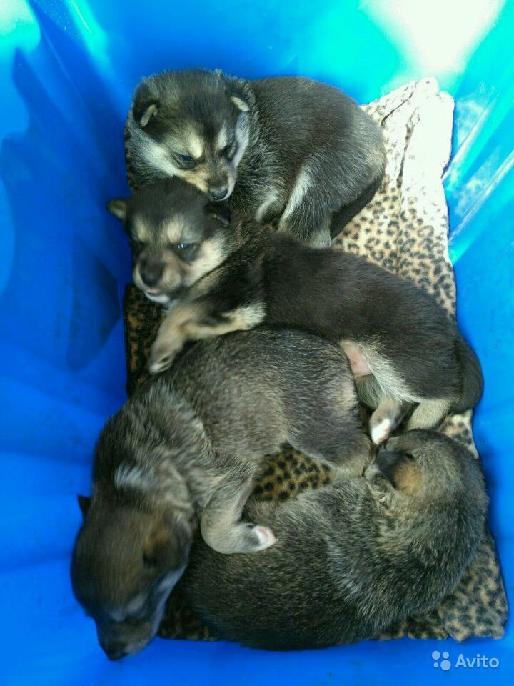 Щенки от средней собачки в Дзержинске - фотография № 3