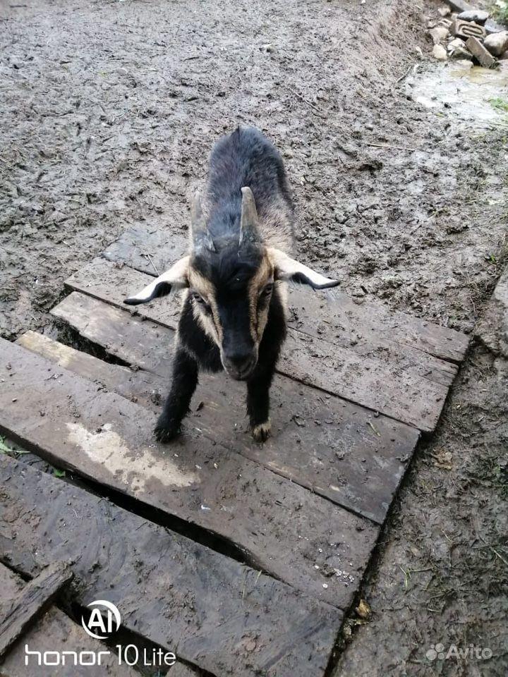 Продам козлов
