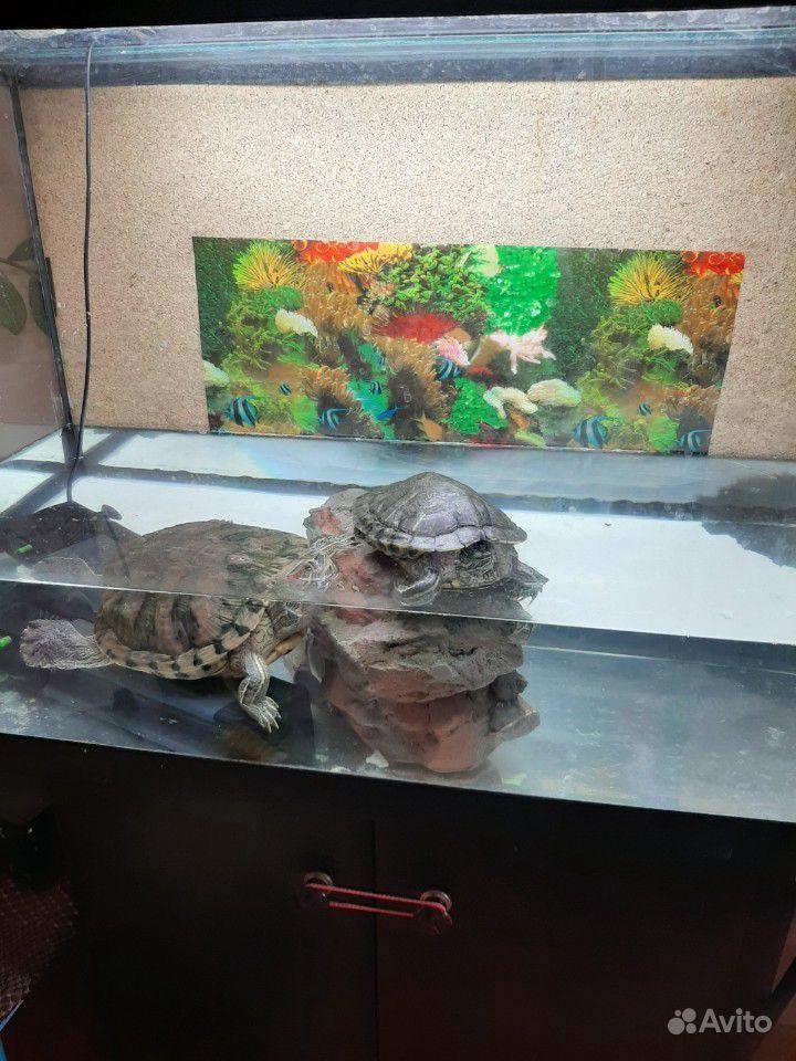 Аквариум с красноухими черепахами