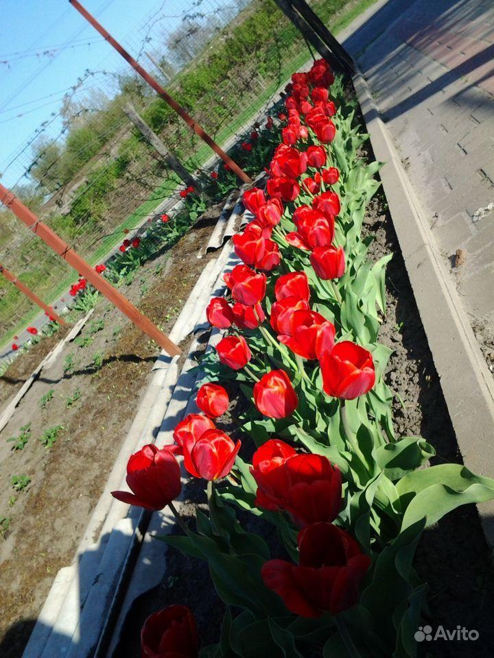 Продаю луковицы тюльпанов купить на Зозу.ру - фотография № 6
