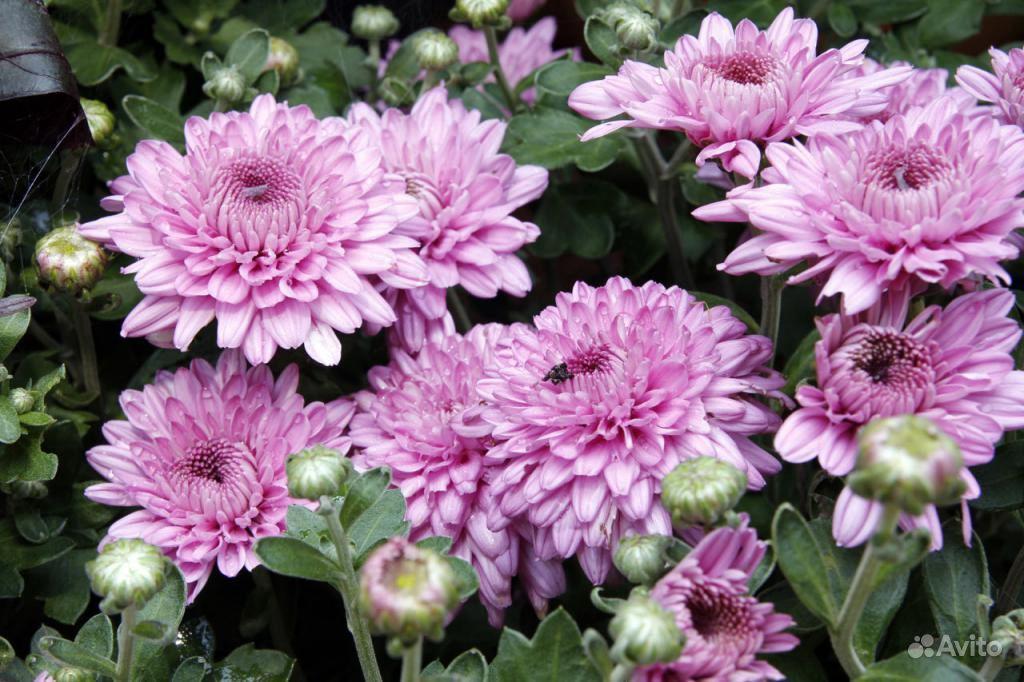 Хризантема корейская среднерослая крупноцветковая купить на Зозу.ру - фотография № 3