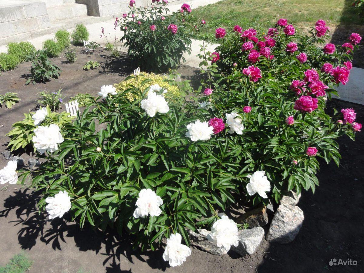 Многолетние растения купить на Зозу.ру - фотография № 9