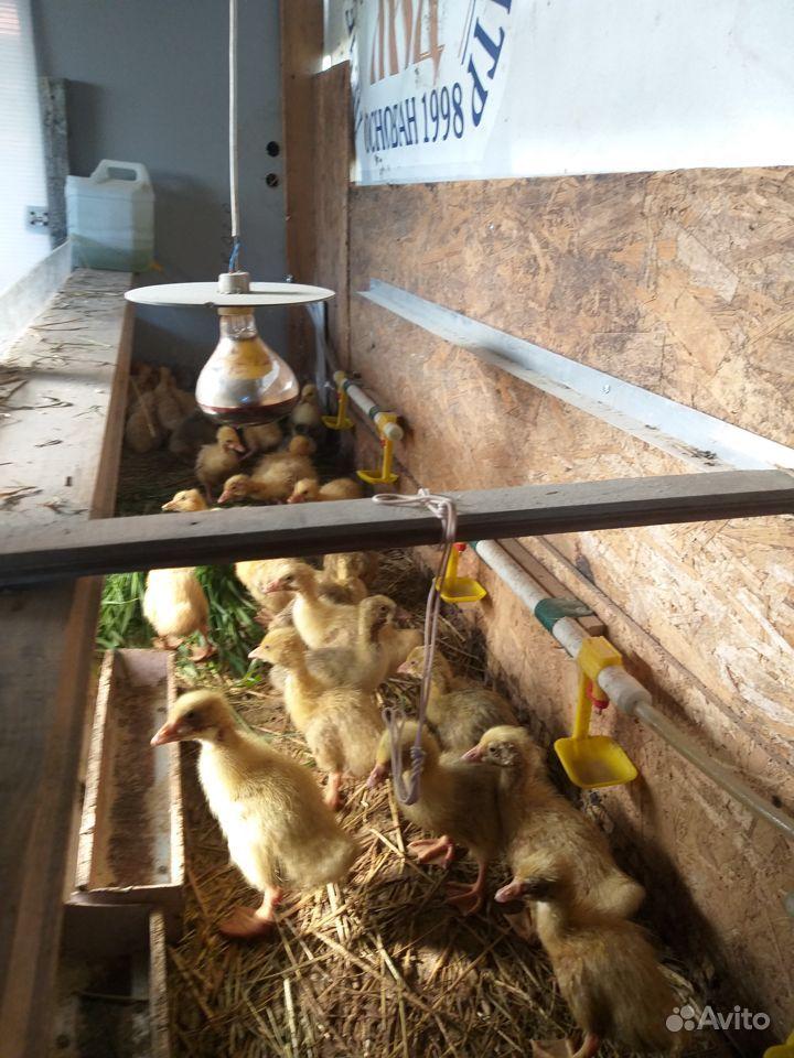 Цыплята бройлеры купить на Зозу.ру - фотография № 2