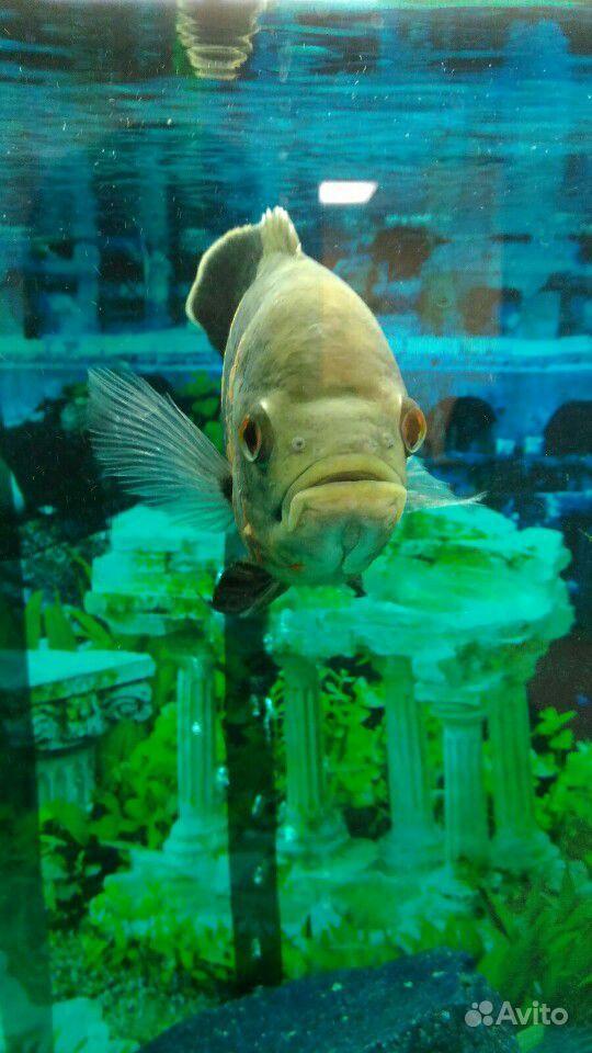 Рыба Астронотус купить на Зозу.ру - фотография № 1