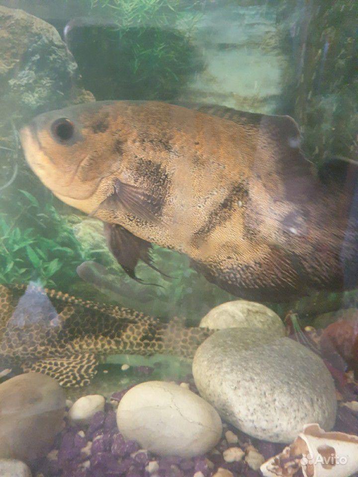 Отдам 3х рыбок за Киндеры купить на Зозу.ру - фотография № 1