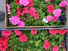 Рассада цветов однолетников