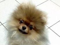 Куплю щенка малый шпиц с родословной ркф последние объявления дать объявление из рук в руки алматы бесплатно