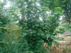 Саженцы Лещины (лесной орех)