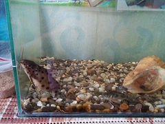 Рыбка сом аквариумная