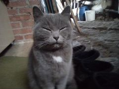 Кошка Британка чистокровная