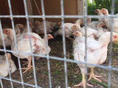 Цыплята - бройлеры пять недель