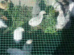 Цыплята 2 месяца