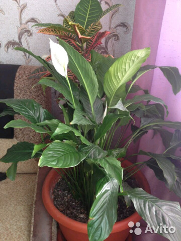 Spathiphyllum and other flowers 89620351266 buy 6