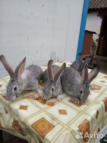 Племенные кролики 89065705365 купить 9