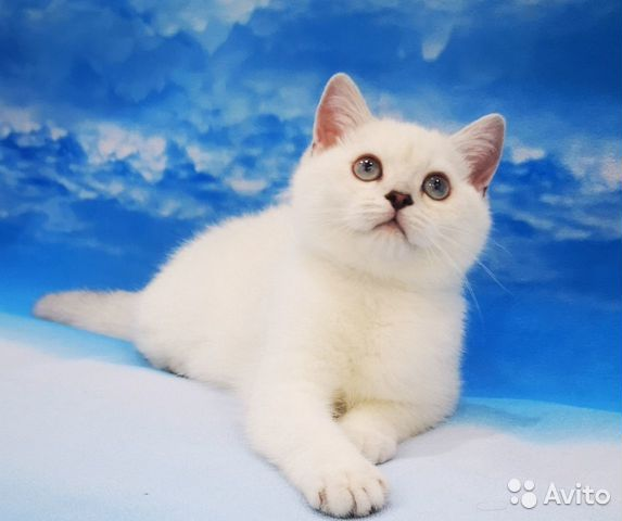 89137551177  Британский серебристый котенок