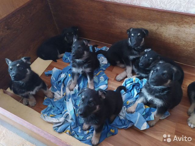 Sell purebred puppies of the East European ovca