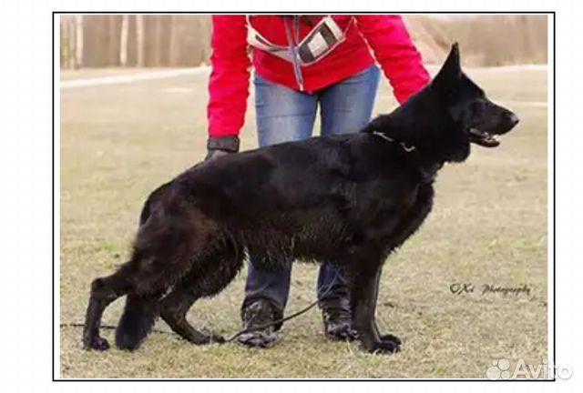 Подрощенный щенок купить на Зозу.ру - фотография № 7