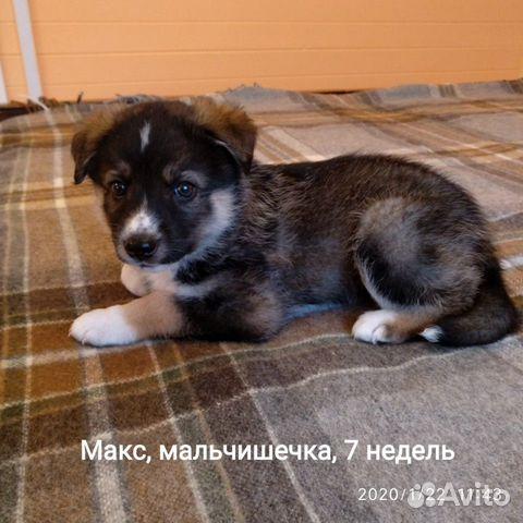 Красивые, здоровые щенки в добрые руки, любящую се купить на Зозу.ру - фотография № 1