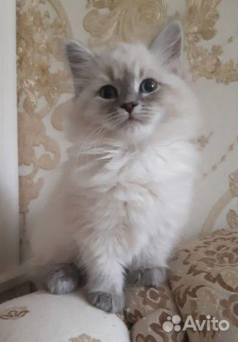 Невские маскарадные котята 89643550551 купить 3