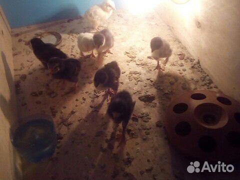 Цыплята 89097235482 купить 3