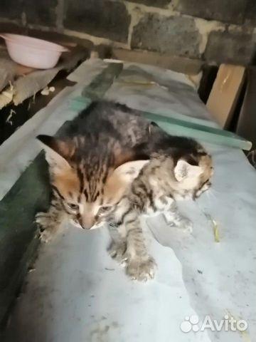 Kittens 89207893593 buy 2