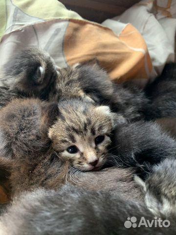 Котята в добрые руки 89642626171 купить 4