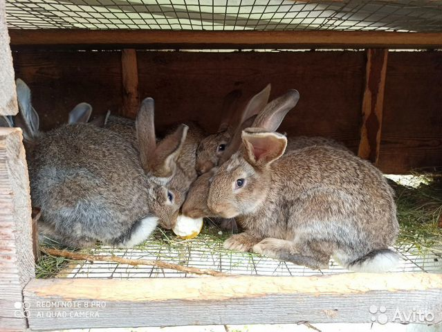 Продаю кролов купить 4
