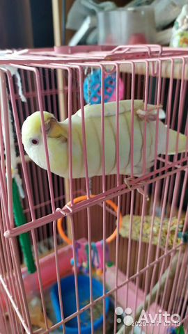 Продается попугай