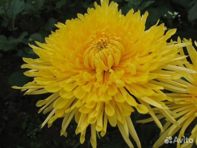 Хризантемы  89806766903 купить 10
