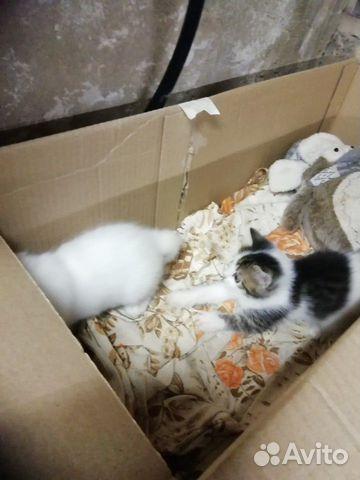 Домашняя кошка  89043166877 купить 2