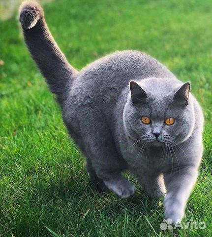 Британские котята  89025669533 купить 2