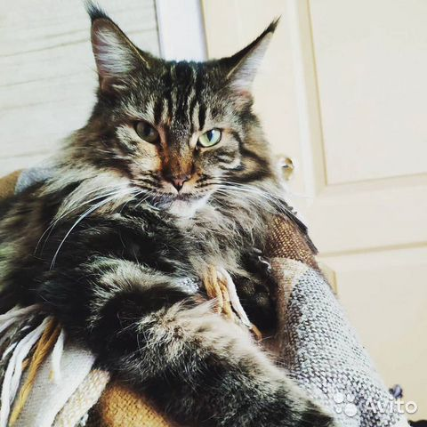Котята Мейн-кун  89516987800 купить 1
