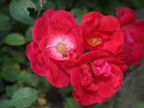 Туя колоновидная, жасмин ирисы розы вьющиеся