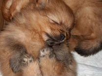 Шпицы мальчишки — Собаки в Геленджике