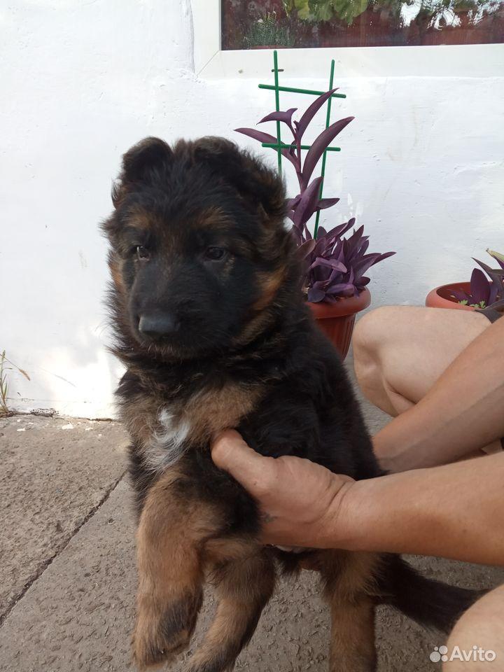 German shepherd  89787548516 buy 3
