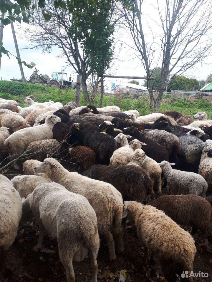 Овцы  89805776608 купить 1