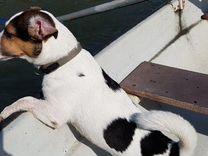 Джек рассел терьер вязка — Собаки в Геленджике