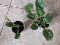 Излишки фиалок, Ле- Мачо — Растения в Рязани