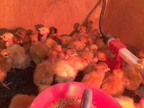 Цыплята кур голошей Sassoon T753, Кобб500