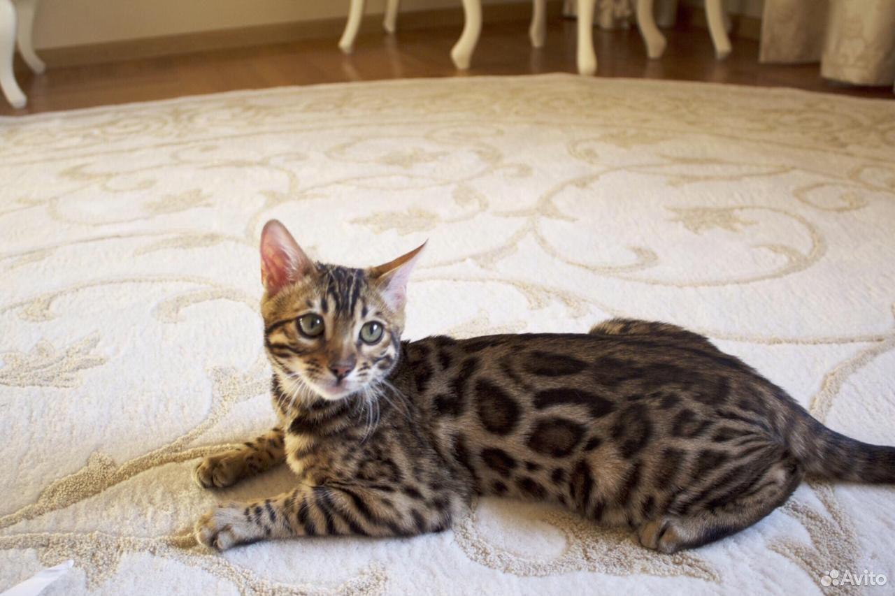 Кошка потеряшка  89608536772 купить 1
