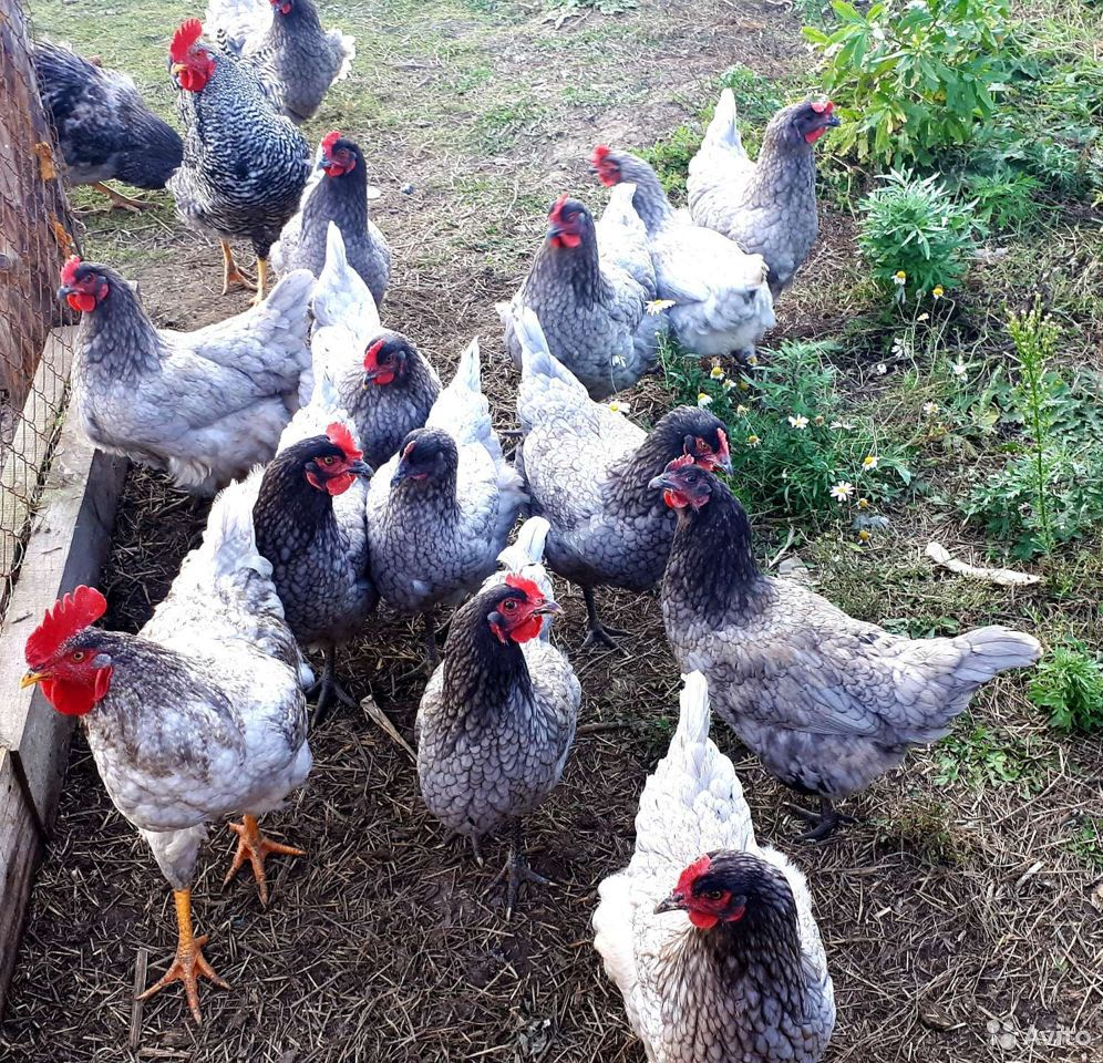 Family chickens  89292693001 buy 1