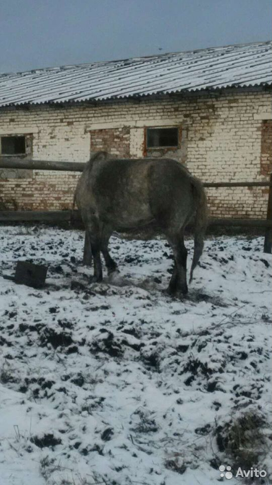 Лошадь  89502701546 купить 3