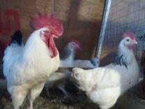 Цыплята, инкубационное яйцо, кур разных пород