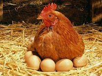 Продам инкубационные яйца куриные