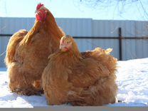 Цыплята Легбара, Коха,Фавероли,Орпингтона,семьи