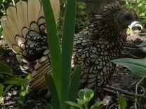 Породная птица,цыплята,яйцо